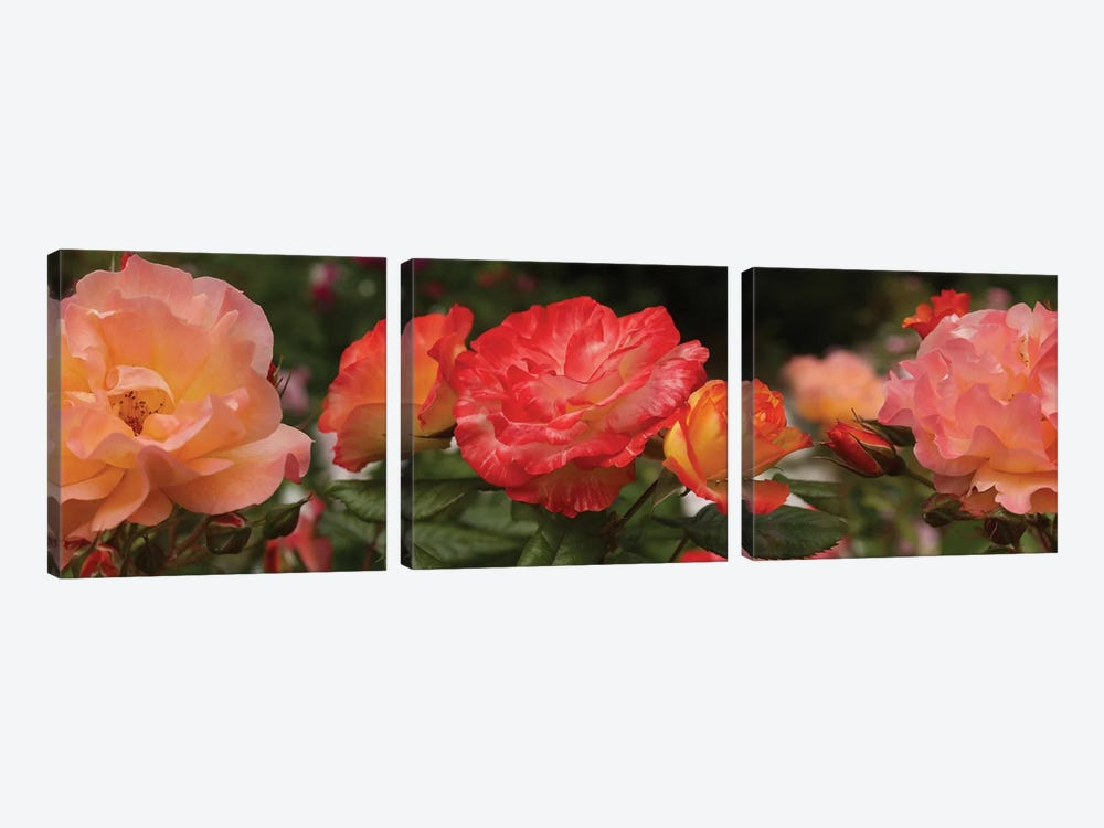 Close-Up Of Begonia And Rose Flowers by Panoramic Images 3-piece Canvas Print