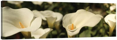 Close-Up Of Calla Lily Flowers Growing On Plant I Canvas Art Print