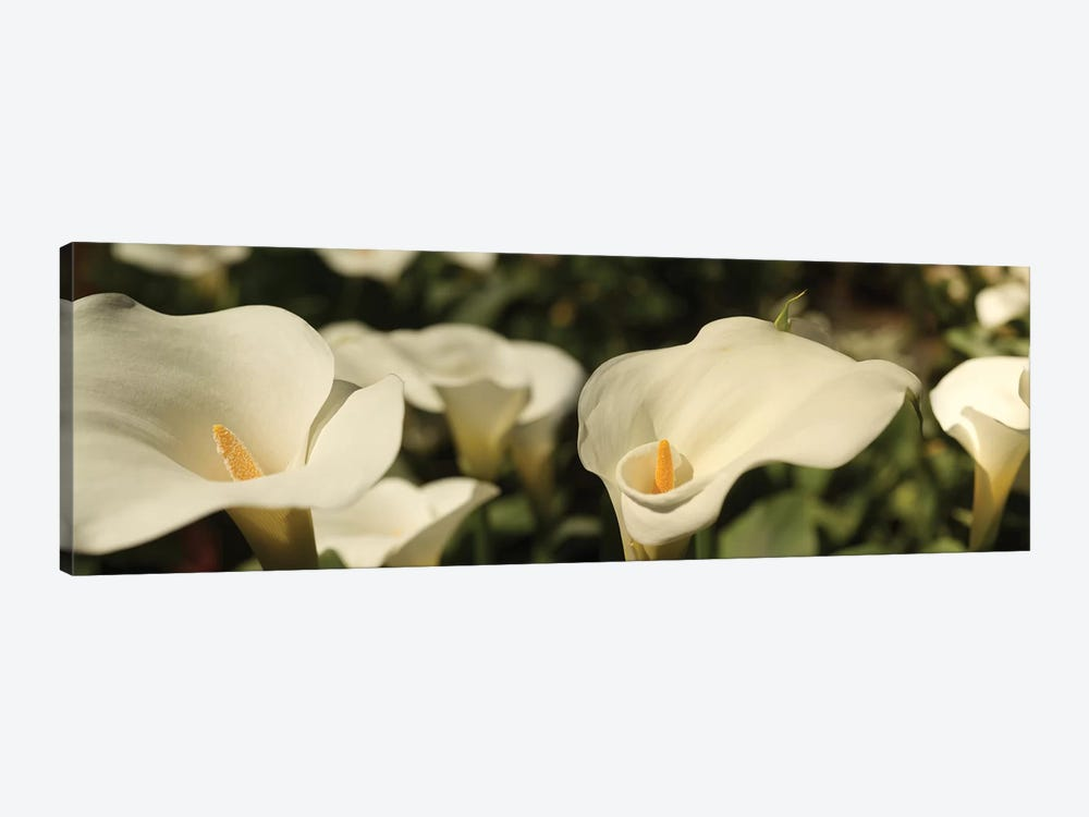 Close-Up Of Calla Lily Flowers Growing On Plant I by Panoramic Images 1-piece Art Print