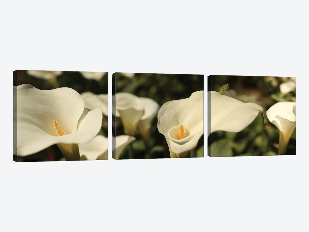 Close-Up Of Calla Lily Flowers Growing On Plant I by Panoramic Images 3-piece Canvas Print