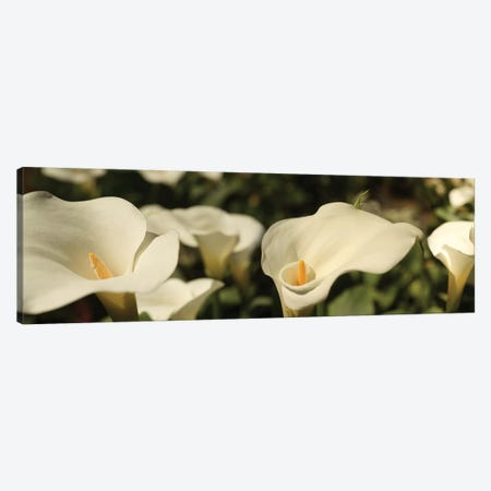 Close-Up Of Calla Lily Flowers Growing On Plant I 3-Piece Canvas #PIM14387} by Panoramic Images Canvas Art Print