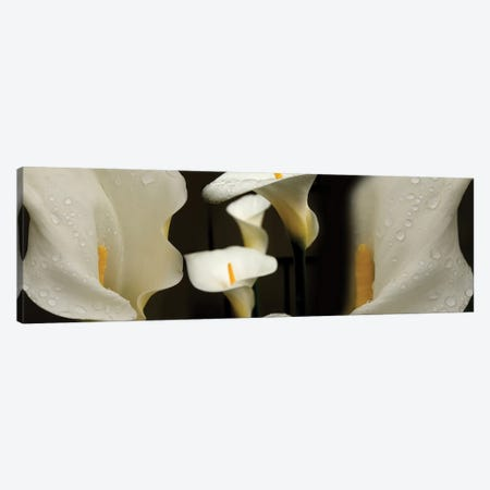 Close-Up Of Calla Lily Flowers Growing On Plant II 3-Piece Canvas #PIM14388} by Panoramic Images Canvas Artwork