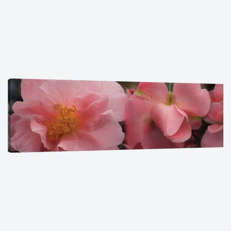 Close-Up Of Camellia Flowers In Bloom I Canvas Print #PIM14389} by Panoramic Images Canvas Art