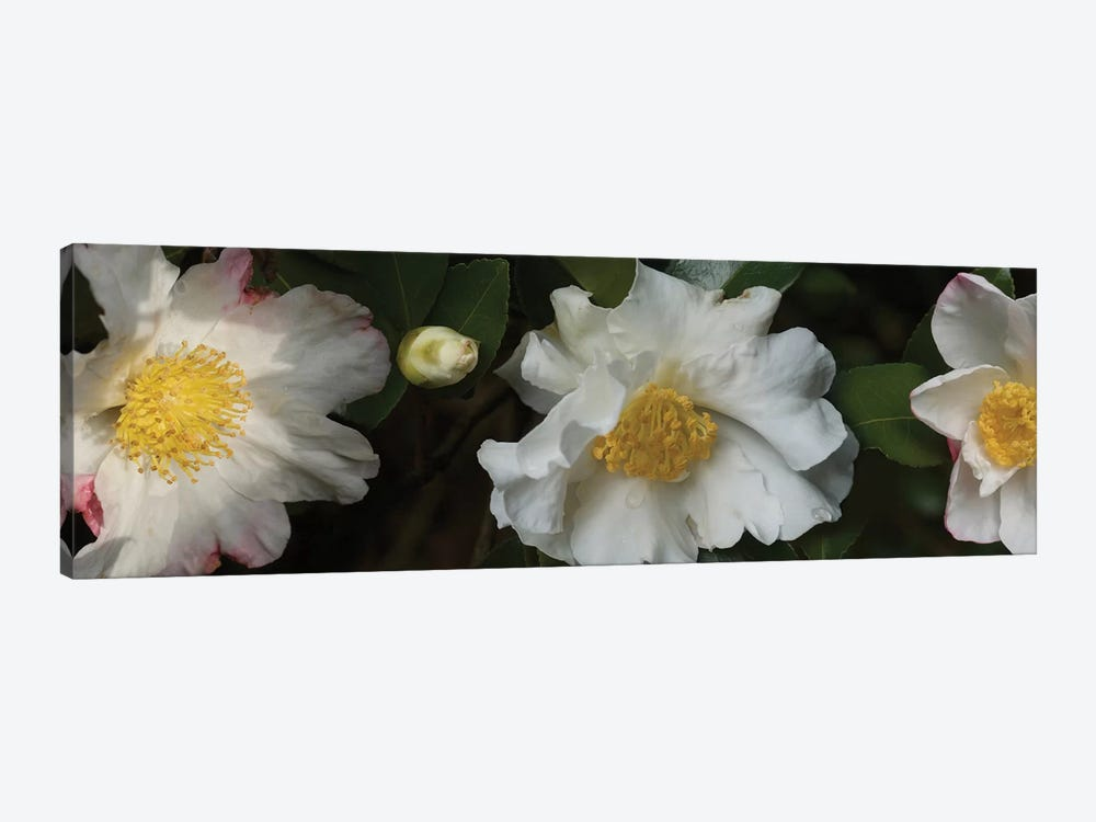 Close-Up Of Camellia Flowers In Bloom II by Panoramic Images 1-piece Art Print
