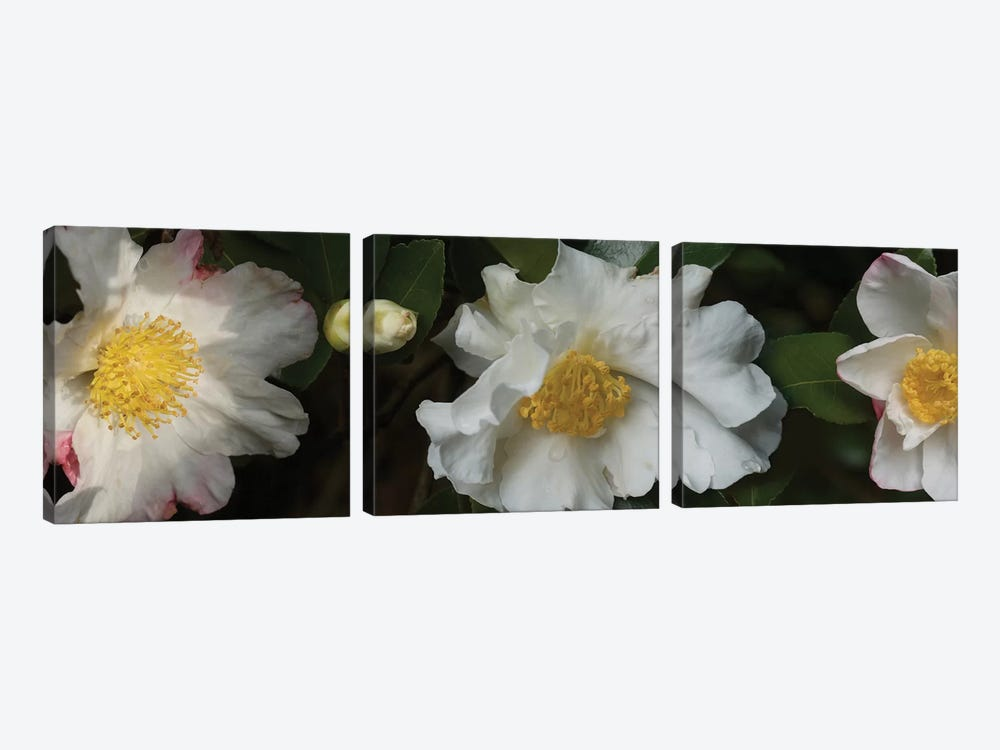 Close-Up Of Camellia Flowers In Bloom II by Panoramic Images 3-piece Canvas Art Print