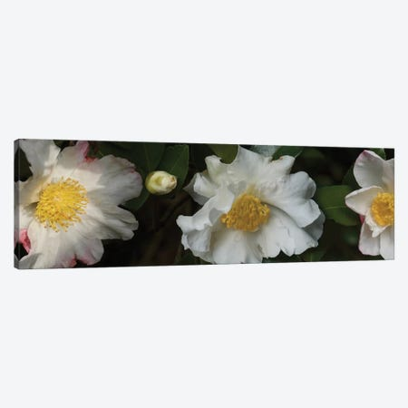 Close-Up Of Camellia Flowers In Bloom II 3-Piece Canvas #PIM14390} by Panoramic Images Canvas Print