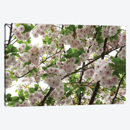 Close-Up Of Cherry Blossom Flowers, Harajuku, Meiji Shrine, Tokyo, Japan Canvas Print #PIM14392} by Panoramic Images Art Print