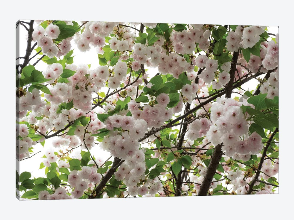 Close-Up Of Cherry Blossom Flowers, Harajuku, Meiji Shrine, Tokyo, Japan by Panoramic Images 1-piece Canvas Art Print