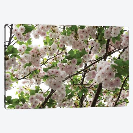 Close-Up Of Cherry Blossom Flowers, Harajuku, Meiji Shrine, Tokyo, Japan Canvas Print #PIM14392} by Panoramic Images Art Print
