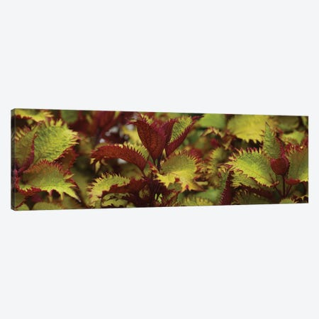 Close-Up Of Coleus Leaves I Canvas Print #PIM14395} by Panoramic Images Canvas Wall Art
