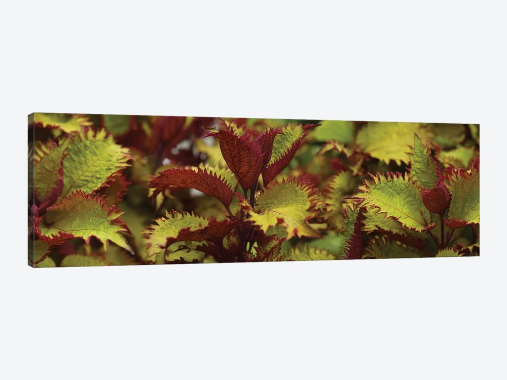 Close-Up Of Coleus Leaves I by Panoramic Images 1-piece Canvas Wall Art