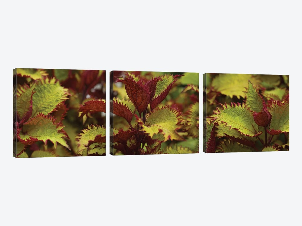 Close-Up Of Coleus Leaves I by Panoramic Images 3-piece Canvas Art