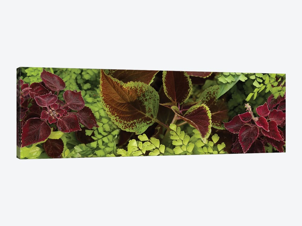 Close-Up Of Coleus Leaves II by Panoramic Images 1-piece Art Print