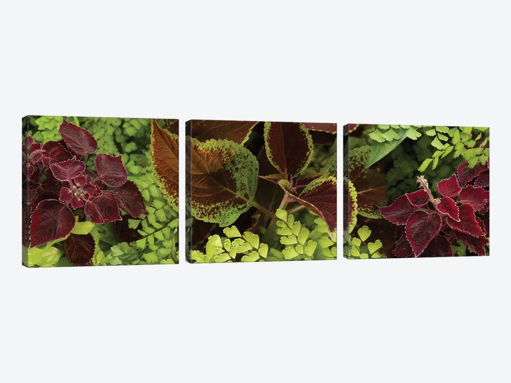 Close-Up Of Coleus Leaves II by Panoramic Images 3-piece Canvas Print