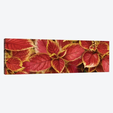 Close-Up Of Coleus Leaves III Canvas Print #PIM14397} by Panoramic Images Canvas Art