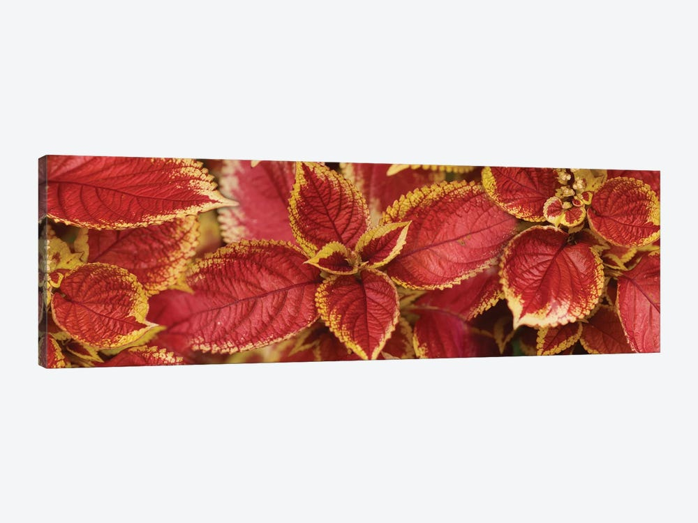 Close-Up Of Coleus Leaves III by Panoramic Images 1-piece Canvas Artwork