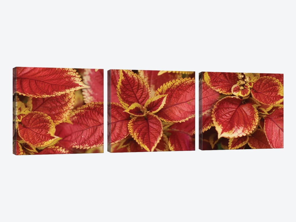 Close-Up Of Coleus Leaves III by Panoramic Images 3-piece Canvas Art