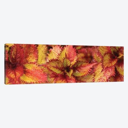 Close-Up Of Coleus Leaves IV 3-Piece Canvas #PIM14398} by Panoramic Images Canvas Art Print