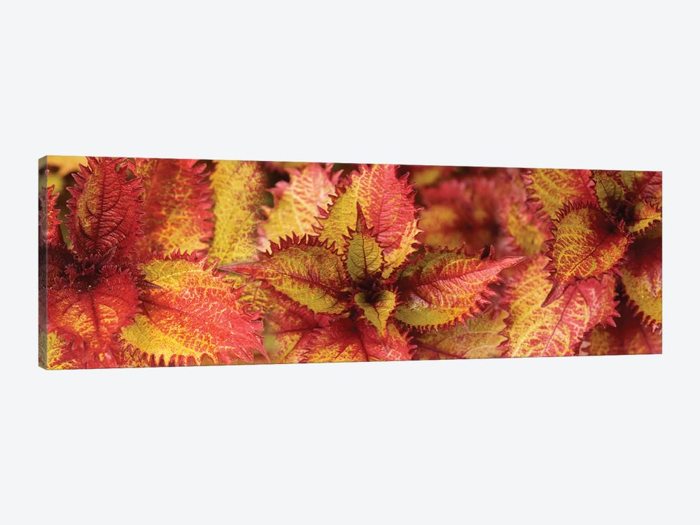 Close-Up Of Coleus Leaves IV by Panoramic Images 1-piece Art Print