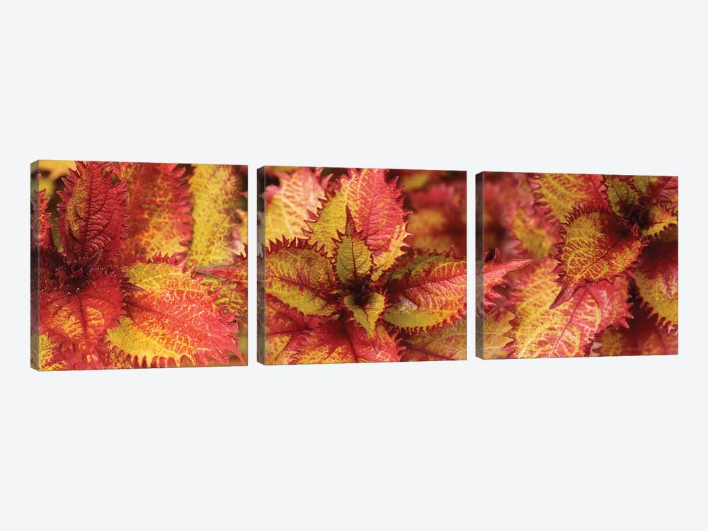 Close-Up Of Coleus Leaves IV by Panoramic Images 3-piece Art Print