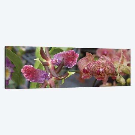Close-Up Of Colorful Orchid Flowers I Canvas Print #PIM14402} by Panoramic Images Canvas Art Print