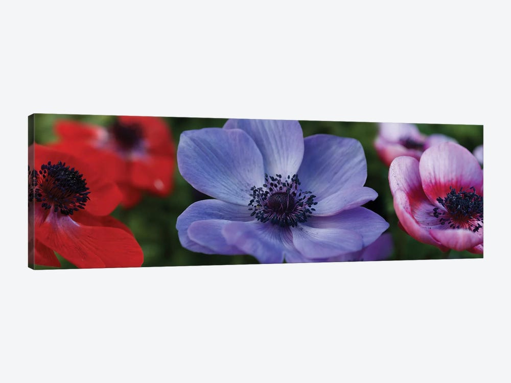 Close-Up Of Colorful Poppy Flowers by Panoramic Images 1-piece Art Print