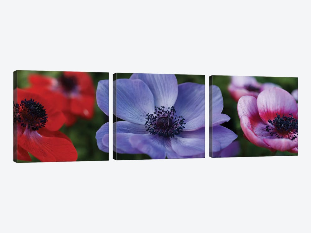 Close-Up Of Colorful Poppy Flowers by Panoramic Images 3-piece Canvas Print