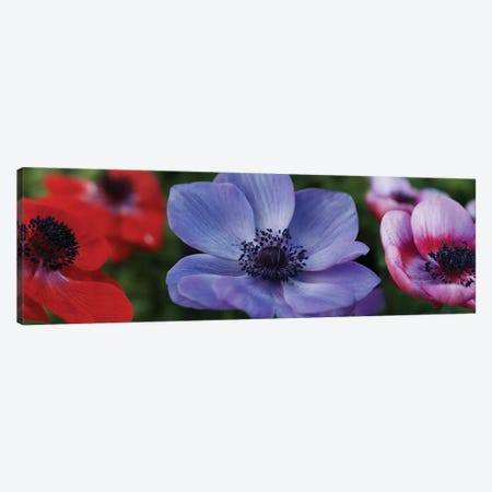 Close-Up Of Colorful Poppy Flowers 3-Piece Canvas #PIM14404} by Panoramic Images Canvas Artwork