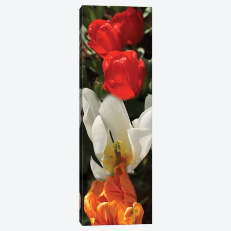 Close-Up Of Colorful Tulip Flowers Canvas Print #PIM14406} by Panoramic Images Canvas Art