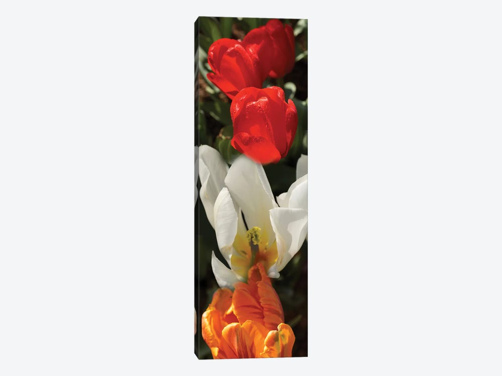 Close-Up Of Colorful Tulip Flowers by Panoramic Images 1-piece Canvas Print