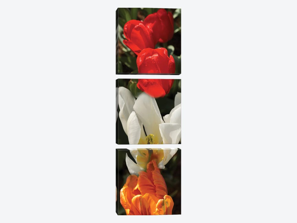 Close-Up Of Colorful Tulip Flowers by Panoramic Images 3-piece Canvas Art Print