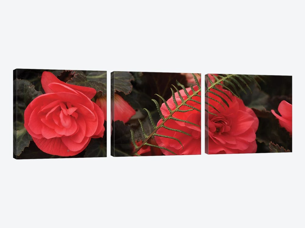 Close-Up Of Coral Color Begonia Flowers by Panoramic Images 3-piece Canvas Art