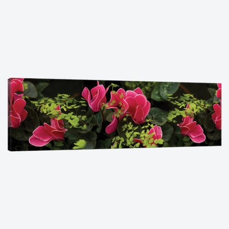 Close-Up Of Cyclamen Plant Canvas Print #PIM14410} by Panoramic Images Canvas Wall Art