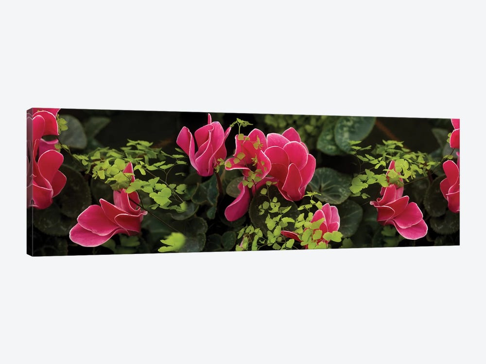 Close-Up Of Cyclamen Plant by Panoramic Images 1-piece Canvas Wall Art