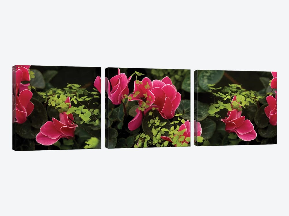 Close-Up Of Cyclamen Plant by Panoramic Images 3-piece Canvas Art