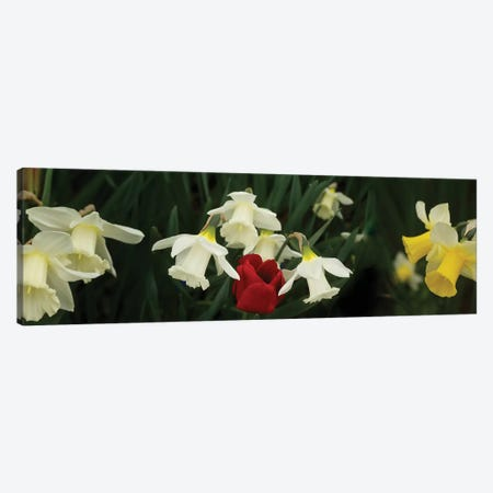 Close-Up Of Daffodil Flowers With A Red Tulip Canvas Print #PIM14411} by Panoramic Images Canvas Art