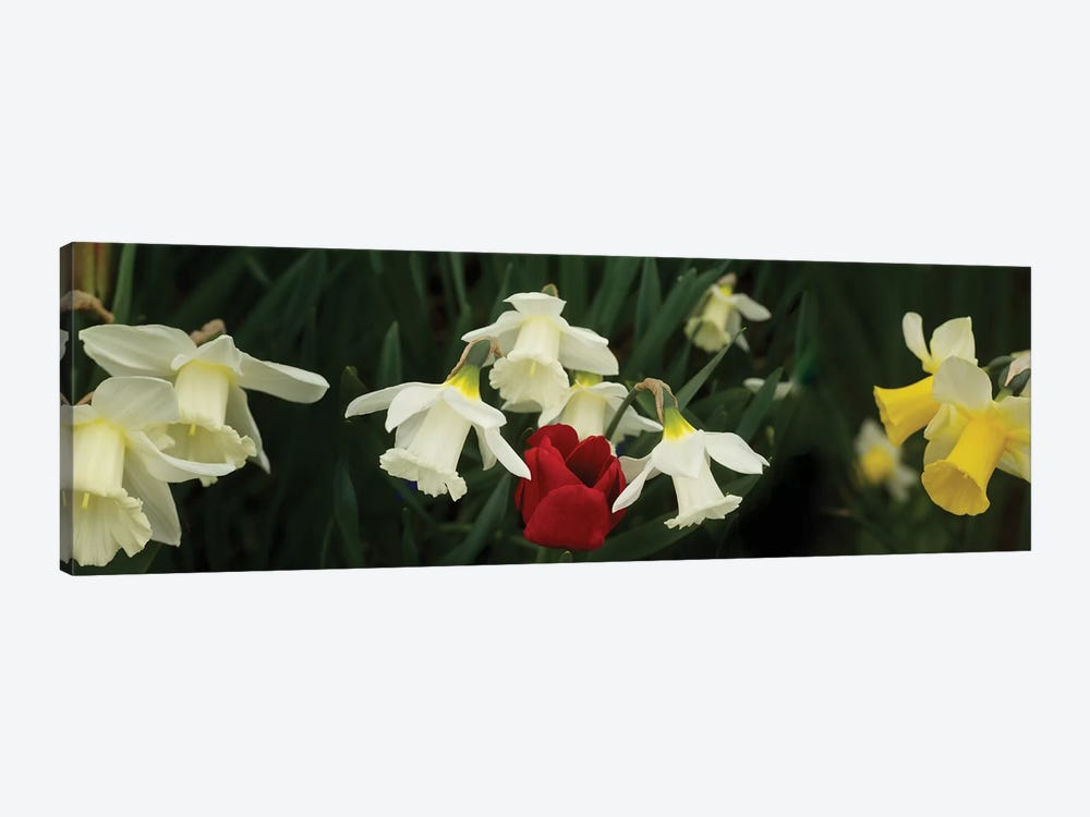 Close-Up Of Daffodil Flowers With A Red Tulip by Panoramic Images 1-piece Canvas Print