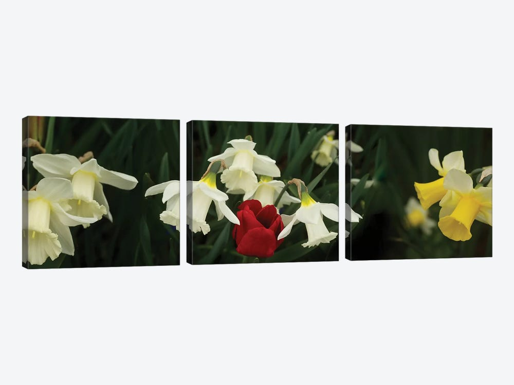 Close-Up Of Daffodil Flowers With A Red Tulip by Panoramic Images 3-piece Canvas Art Print