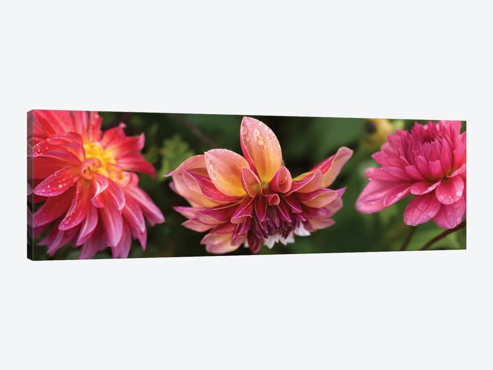 Close-Up Of Dahlia Flowers Blooming On Plant I by Panoramic Images 1-piece Canvas Wall Art