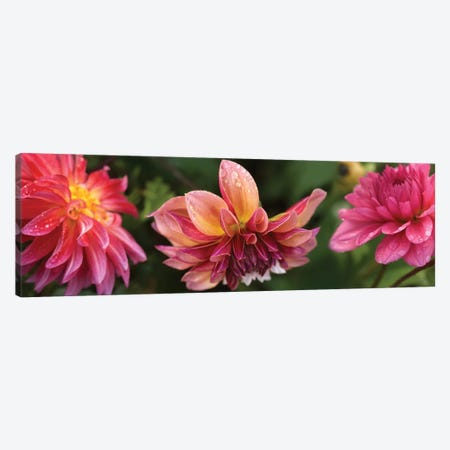 Close-Up Of Dahlia Flowers Blooming On Plant I Canvas Print #PIM14412} by Panoramic Images Canvas Art