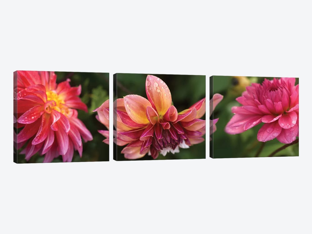 Close-Up Of Dahlia Flowers Blooming On Plant I by Panoramic Images 3-piece Canvas Art