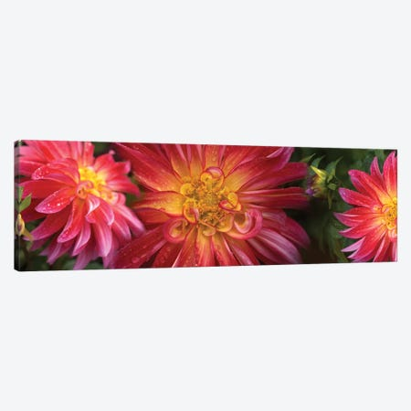 Close-Up Of Dahlia Flowers Blooming On Plant II Canvas Print #PIM14413} by Panoramic Images Canvas Artwork