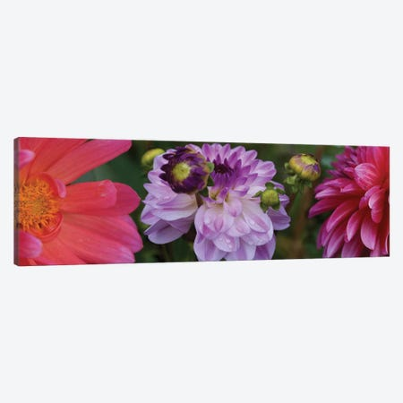 Close-Up Of Dahlia Flowers Blooming On Plant III Canvas Print #PIM14414} by Panoramic Images Canvas Print