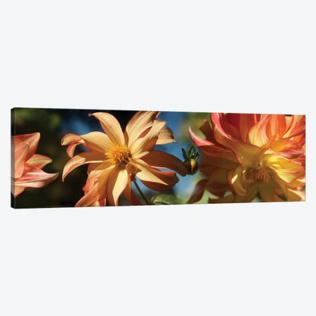 Close-Up Of Dahlia Flowers Blooming On Plant IV Canvas Print #PIM14415} by Panoramic Images Art Print