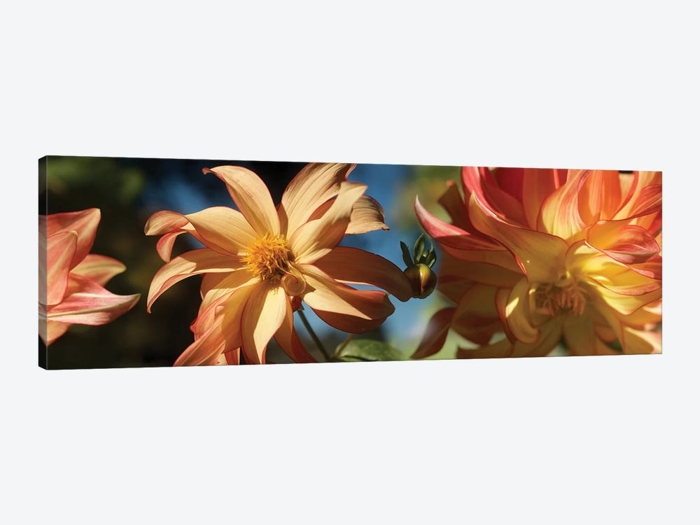 Close-Up Of Dahlia Flowers Blooming On Plant IV by Panoramic Images 1-piece Canvas Art Print