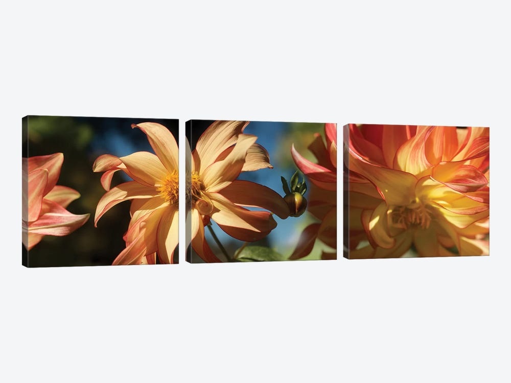 Close-Up Of Dahlia Flowers Blooming On Plant IV by Panoramic Images 3-piece Art Print