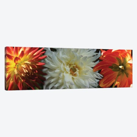 Close-Up Of Dahlia Flowers Blooming On Plant V 3-Piece Canvas #PIM14416} by Panoramic Images Art Print