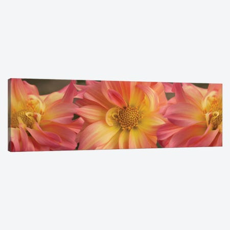 Close-Up Of Dahlia Flowers Blooming On Plant VI Canvas Print #PIM14417} by Panoramic Images Canvas Print
