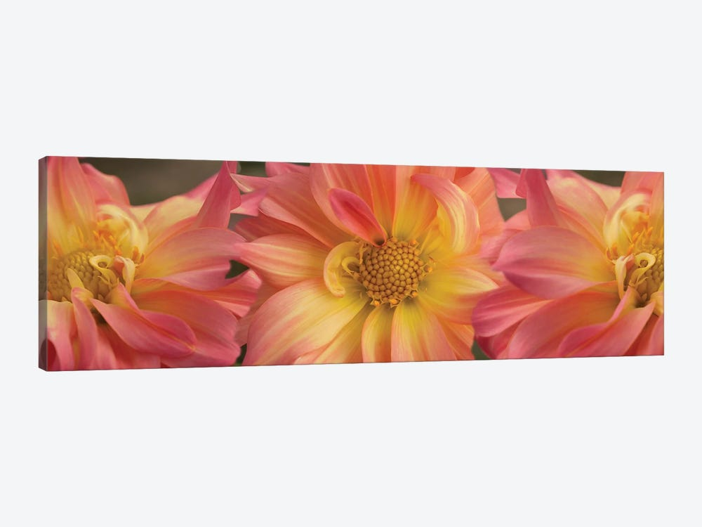 Close-Up Of Dahlia Flowers Blooming On Plant VI 1-piece Canvas Print