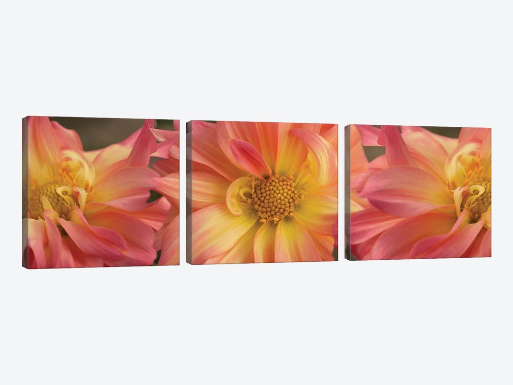 Close-Up Of Dahlia Flowers Blooming On Plant VI by Panoramic Images 3-piece Canvas Print